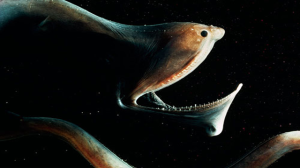 Gulper-Eel