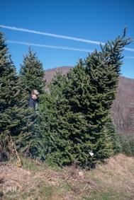 ChristmasTrees-16