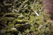 ChristmasTrees-5